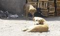 Otro perro infectado con rabia en Arequipa