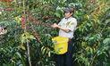 Aumentarán cultivos de cacao en reemplazo de coca