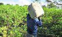 Indecisión del Gobierno frente a erradicación de cultivos de coca en el Vraem