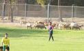 Segunda División: ovejas detuvieron partido de fútbol