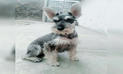 Denuncian robo de perro schnauzer en Huaral