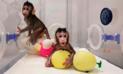 China logró clonar dos monos tras 127 fallidos intentos [VIDEO]