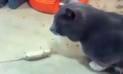 Facebook Viral: Pericote se hace el muerto para que gato no se lo coma [VIDEO]
