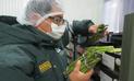 Senasa certificó más de mil toneladas de espárragos frescos para exportación
