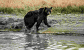 En EEUU juez bloquea temporada de cacería de osos grizzly