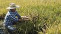 Minagri anuncia censo para conocer el stock nacional de arroz