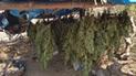 VRAEM: Erradican 8 mil plantones de marihuana que se iban a comercializar en Lima