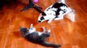 """Facebook: Conejo """"dalmata"""" se pelea con indefenso gato y el final sorprende a más de uno"""