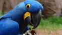 Guacamayo azul que inspiró Río, la película, fue declarado extinto