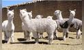 Huancavelica: criadores concursaron en feria con sus mejores alpacas de raza Huacaya