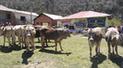 Huancavelica: Más de 2000 ganados recibirán asistencia sanitaria en Huando y Palca