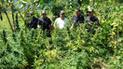 PNP erradica plantones de marihuana en Jaén