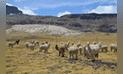 Huancavelica: Buscan recuperar praderas altoandinas para alpacas y vicuñas