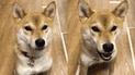 Facebook: perro akita sorprende a miles con su 'dominio' del idioma japonés [VIDEO]