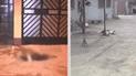 Carabayllo: envenenan a perros de todo un barrio para luego robar viviendas [VIDEO]