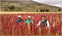 Huancavelica registró una producción de más de 1100 toneladas de quinua