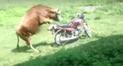 Facebook: peculiar toro pasa 'bochornoso' momento al intentar montar una moto [VIDEO]
