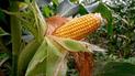 La Libertad: capacitarán a agricultores en el cultivo de nuevas variedades de maíz