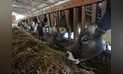 MINAGRI inicia proyecto para medir emisiones de gases de efecto invernadero en bovinos de Junín