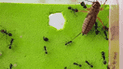 YouTube Viral: asombroso final tuvo una brutal batalla entre hormigas y un grillo [VIDEO]