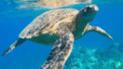 YouTube: tortuga es salvada de morir en México por ingerir residuos humanos en el mar [VIDEO]