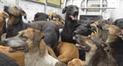 Denunciarán a dueños de los perros que tienen rabia canina en Arequipa