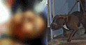 SJM: Mujer se debate entre la vida y la muerte tras salvaje ataque de grupo de pitbulls