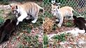 Facebook: Gran ternura provocó un tigre que jugaba con dos nutrias en zoológico [VIDEO]