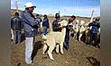 Capacitan a alpaqueros de Puno y Ayacucho para que mejoren crianza de auquénidos en zonas altoandinas