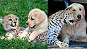 Vía Facebook: usuarios quedan en shock al ver el gran amor entre un perro y guepardo [FOTOS]