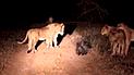 Facebook viral:cámaras registran épica  pelea de puercoespín con hambrientos leones [VIDEO]