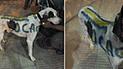 Maltrato animal: perro fue pintado con colores de Boca y está desaparecido