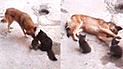 Facebook: perro tiene un tierno gesto con las crías de una gata y conmueve a miles [VIDEO]