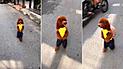 Facebook: Usuarios indignados con video que muestra un perro caniche caminando en dos patas