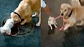 Facebook: labrador se roba a perrita pequeña ante la atenta mirada de su dueña [VIDEO]