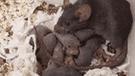 Facebook viral: madre rata usa aterradora técnica para no perder a sus bebés [VIDEO]