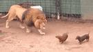 YouTube viral: sujeto lanza a dos perros en jaula de un león y ocurre lo más inesperado