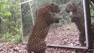 Facebook: colocan espejo delante de leopardo y no creerás cómo reaccionó al ver su reflejo [VIDEO]