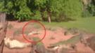 YouTube: cocodrilo se equivoca de presa y le arranca la pata a su compañero [VIDEO]