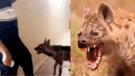 Vía Facebook: hombre es acechado por una hiena y usa este truco para protegerse [VIDEO]