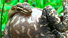 Vía Facebook: combate entre sapo y serpiente tiene inesperado vencedor [VIDEO]