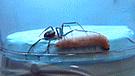 Facebook: Gusano logra asesinar a una araña falsa viuda con increíble método
