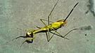 YouTube viral: gusano parásito abandona el cuerpo de una mantis religiosa muerta [VIDEO]