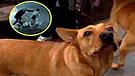 'Gringo': perro que salvó a joven de delincuentes fue atropellado por presunto ajuste de cuentas
