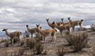 Los últimos guanacos del Perú