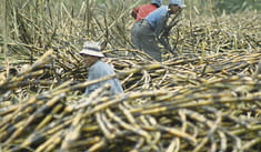Bajo precio del azúcar afecta ingresos económicos de empresas y agricultores