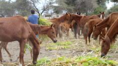 Chiclayo: denuncian maltrato a caballos de paso en empresa azucarera