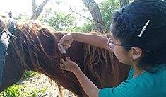 Universitarios brindan atención médica a caballos de azucarera