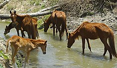 Denuncian a Coali SAC por no alimentar a 130 caballos de paso en empresa Tumán
