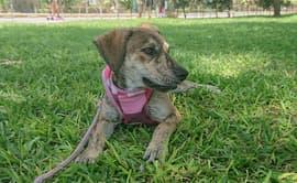 Mascota encontrada en cerro de Canto Grande busca ser adoptada